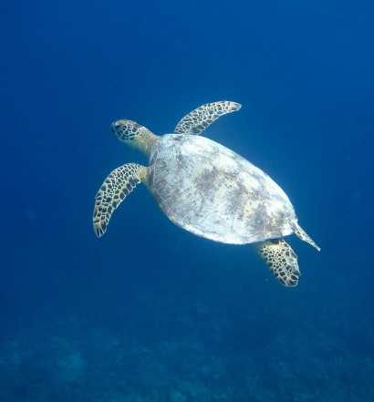 Turtle Swimming Around Derawan