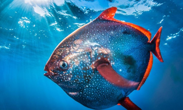 Opah, or Moonfish