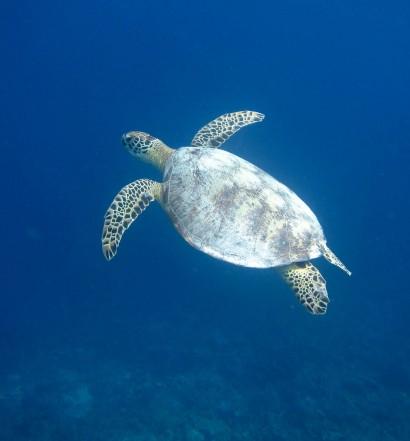Turtle Swimming Around Derawan